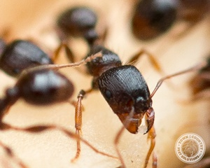Sweet Ants