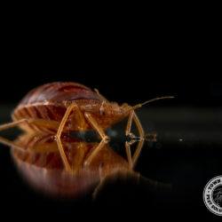 bed bug, blood sucker, vampire, town and country, town and country pest solutions, pest, pests, rochester, syracuse, buffalo, rochester ny, syracuse ny, buffalo ny, new york, western ny, rochester exterminators, syracuse exterminators, buffalo exterminators, bed bugs, fabry, matt fabry, extermination, hire the pros, friendly, trustworthy