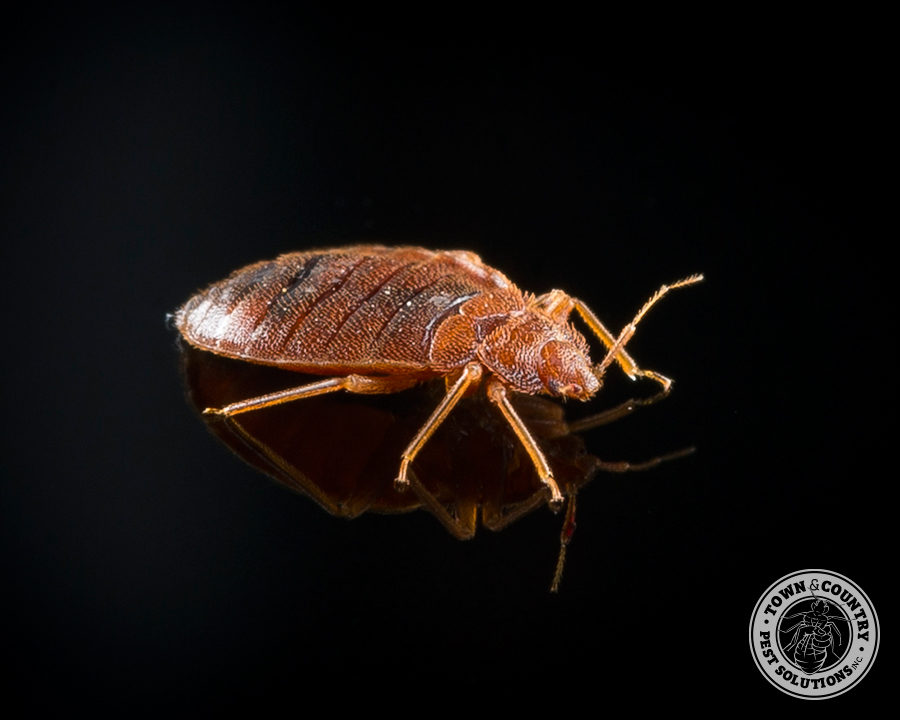 bed bug, blood sucker, vampire, town and country, town and country pest solutions, pest, pests, rochester, syracuse, buffalo, rochester ny, syracuse ny, buffalo ny, new york, western ny, rochester exterminators, syracuse exterminators, buffalo exterminators, bed bugs, fabry, matt fabry, extermination, hire the pros, friendly, trustworthy