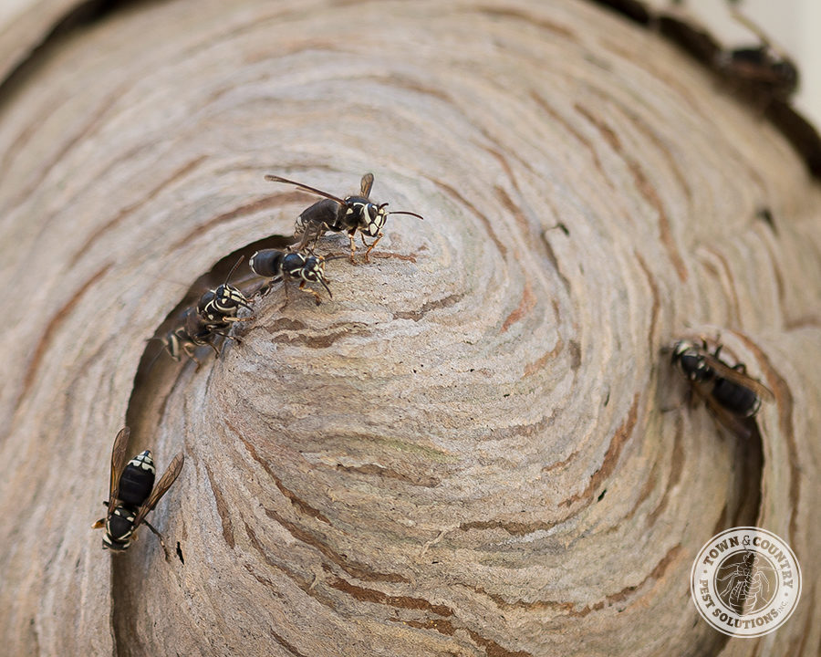 bald faced hornets, white faced hornets