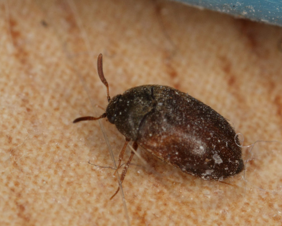 The gallery for --> Varied Carpet Beetle In Bed