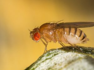 Why Large Numbers Of Fruit Flies Frequently Appear In Homes