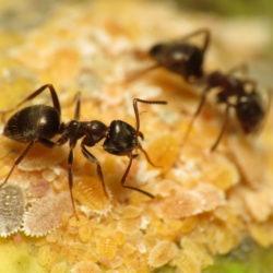 citronella ants, citronella ant, town and country, town and country pest solutions, pest, pests, rochester, syracuse, buffalo, rochester ny, syracuse ny, buffalo ny, new york, western ny, rochester exterminators, syracuse exterminators, buffalo exterminators, bed bugs, fabry, matt fabry, extermination, hire the pros, friendly, trustworthy