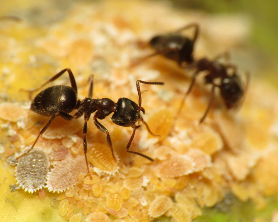 Murphy Ants Town Amp Country Pest Solutions