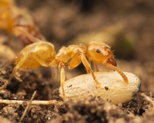 Murphy Ants