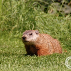 groundhog, groundhogs, woodchuck, woodchucks, town and country, town and country pest solutions, pest, pests, rochester, syracuse, buffalo, rochester ny, syracuse ny, buffalo ny, new york, western ny, rochester exterminators, syracuse exterminators, buffalo exterminators, bed bugs, fabry, matt fabry, extermination, hire the pros, friendly, trustworthy