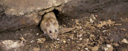 Why Ceiling Voids Provide Rodent Pests With An Ideal Living Space