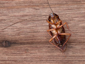 The Cockroach Species That Frequently Fly Indoors And Infest Homes Located Near Wooded Areas