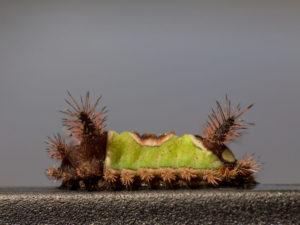 Venomous Caterpillar Species