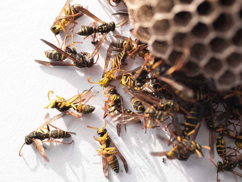 Wasp Control in Rochester