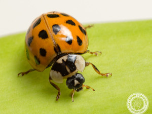 Swarming Lady Beetles