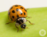 asian lady beetle, beetles, pupa, town and country, town and country pest solutions, pest, pests, rochester, syracuse, buffalo, rochester ny, syracuse ny, buffalo ny, new york, western ny, rochester exterminators, syracuse exterminators, buffalo exterminators, bed bugs, fabry, matt fabry, extermination, hire the pros, friendly, trustworthy