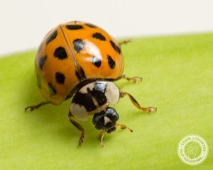 Asian Lady Beetles