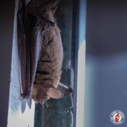 bat, flying rat, town and country, town and country pest solutions, pest, pests, rochester, syracuse, buffalo, rochester ny, syracuse ny, buffalo ny, new york, western ny, rochester exterminators, syracuse exterminators, buffalo exterminators, bed bugs, fabry, matt fabry, extermination, hire the pros, friendly, trustworthy