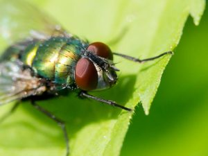Heavy Rain Water Saturation On Residential Landscapes Attracts Numerous Fly Pests