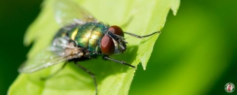 bottle fly, blow fly, fly, town and country, town and country pest solutions, pest, pests, rochester, syracuse, buffalo, rochester ny, syracuse ny, buffalo ny, new york, western ny, rochester exterminators, syracuse exterminators, buffalo exterminators, bed bugs, fabry, matt fabry, extermination, hire the pros, friendly, trustworthy
