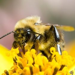 bee, pollen, bumble bee, town and country, town and country pest solutions, pest, pests, rochester, syracuse, buffalo, rochester ny, syracuse ny, buffalo ny, new york, western ny, rochester exterminators, syracuse exterminators, buffalo exterminators, bed bugs, fabry, matt fabry, extermination, hire the pros, friendly, trustworthy
