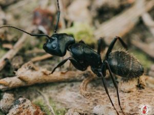 Which Carpenter Ant Pest Species Are Known For Nesting Within Structural Woodwork, And How Can They Be Recognized?