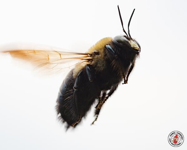 bee, pollen, carpenter bee, town and country, town and country pest solutions, pest, pests, rochester, syracuse, buffalo, rochester ny, syracuse ny, buffalo ny, new york, western ny, rochester exterminators, syracuse exterminators, buffalo exterminators, bed bugs, fabry, matt fabry, extermination, hire the pros, friendly, trustworthy