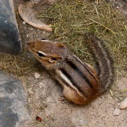 chipmunks, chipmunk, town and country, town and country pest solutions, pest, pests, rochester, syracuse, buffalo, rochester ny, syracuse ny, buffalo ny, new york, western ny, rochester exterminators, syracuse exterminators, buffalo exterminators, bed bugs, fabry, matt fabry, extermination, hire the pros, friendly, trustworthy