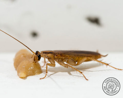 roach, roaches, cockroach, cockroaches, town and country, town and country pest solutions, pest, pests, rochester, syracuse, buffalo, rochester ny, syracuse ny, buffalo ny, new york, western ny, rochester exterminators, syracuse exterminators, buffalo exterminators, bed bugs, fabry, matt fabry, extermination, hire the pros, friendly, trustworthy