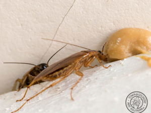Do The Cockroaches Found In Upstate New York Dwell Solely Within Structures, And Can Their Eggs Be Found Indoors?