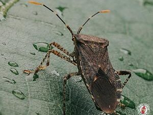 Many Indoor Pests Known As True Bugs Stink Up Homes During The Late Summer Season
