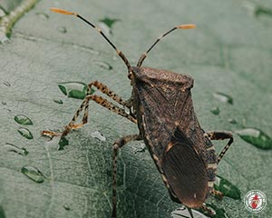 conifer bug, conifer bugs, beetle, beetles, town and country, town and country pest solutions, pest, pests, rochester, syracuse, buffalo, rochester ny, syracuse ny, buffalo ny, new york, western ny, rochester exterminators, syracuse exterminators, buffalo exterminators, bed bugs, fabry, matt fabry, extermination, hire the pros, friendly, trustworthy