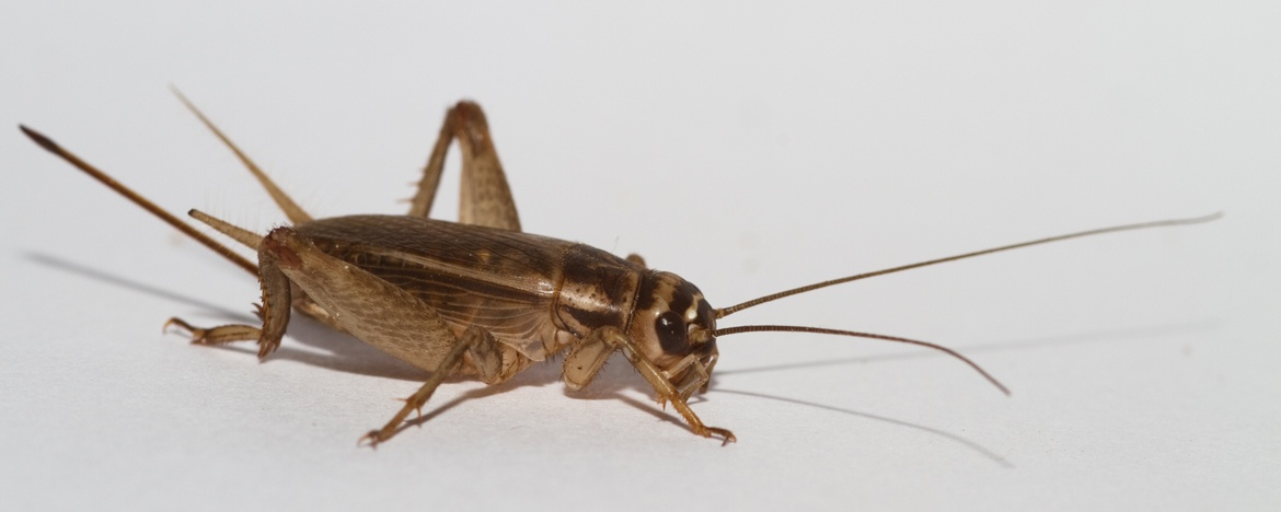 cricket, crickets, town and country, town and country pest solutions, pest, pests, rochester, syracuse, buffalo, rochester ny, syracuse ny, buffalo ny, new york, western ny, rochester exterminators, syracuse exterminators, buffalo exterminators, bed bugs, fabry, matt fabry, extermination, hire the pros, friendly, trustworthy