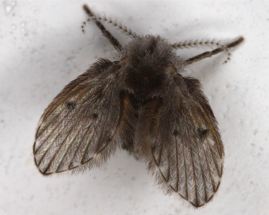 drain fly, drain flies, town and country, town and country pest solutions, pest, pests, rochester, syracuse, buffalo, rochester ny, syracuse ny, buffalo ny, new york, western ny, rochester exterminators, syracuse exterminators, buffalo exterminators, bed bugs, fabry, matt fabry, extermination, hire the pros, friendly, trustworthy