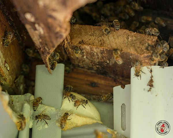 honey bee, honey bees, town and country, town and country pest solutions, pest, pests, rochester, syracuse, buffalo, rochester ny, syracuse ny, buffalo ny, new york, western ny, rochester exterminators, syracuse exterminators, buffalo exterminators, bed bugs, fabry, matt fabry, extermination, hire the pros, friendly, trustworthy
