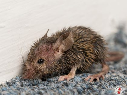 The Norway Rat And The House Mouse Are The Two Most Successful Mammalian Species On Earth