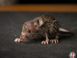 Do Norway Rats And House Mice Rely Solely On Humans In Order To Survive?