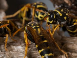 Paper Wasps Prefer To Nest On And Within Structures, And Their Colonies Outnumber Those Of All Other Social Wasp Species Combined