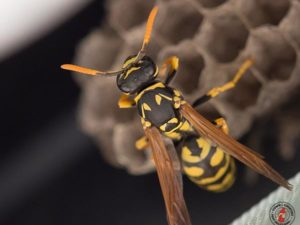 Angry Drunk Wasps Go on Stinging Spree