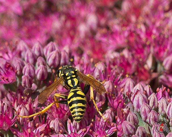paper wasp, paper wasps, wasp, wasps, town and country, town and country pest solutions, pest, pests, rochester, syracuse, buffalo, rochester ny, syracuse ny, buffalo ny, new york, western ny, rochester exterminators, syracuse exterminators, buffalo exterminators, bed bugs, fabry, matt fabry, extermination, hire the pros, friendly, trustworthy