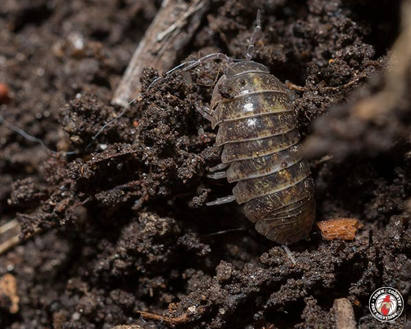 potato bug, roly-poly, pill bug, town and country, town and country pest solutions, pest, pests, rochester, syracuse, buffalo, rochester ny, syracuse ny, buffalo ny, new york, western ny, rochester exterminators, syracuse exterminators, buffalo exterminators, bed bugs, fabry, matt fabry, extermination, hire the pros, friendly, trustworthy