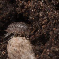 potato bug, roly-poly, pill bug, town and country, town and country pest solutions, pest, pests, rochester, syracuse, buffalo, rochester ny, syracuse ny, buffalo ny, new york, western ny, rochester exterminators, syracuse exterminators, buffalo exterminators, bed bugs, fabry, matt fabry, extermination, hire the pros, friendly, trustworthy