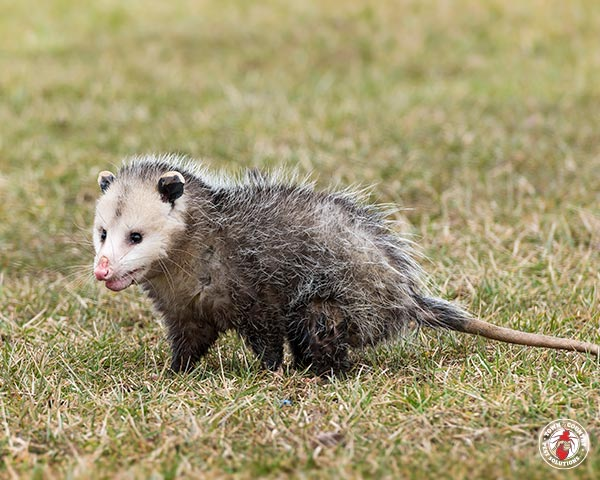 opossum, opossums, possum, possums, town and country, town and country pest solutions, pest, pests, rochester, syracuse, buffalo, rochester ny, syracuse ny, buffalo ny, new york, western ny, rochester exterminators, syracuse exterminators, buffalo exterminators, bed bugs, fabry, matt fabry, extermination, hire the pros, friendly, trustworthy