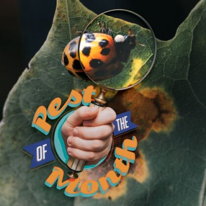 Pest of the Month: Asian Lady Beetles