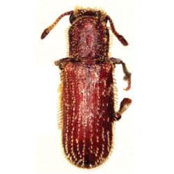 powder post beetle, powder post beetles, powderpost beetle, powderpost beetles, town and country, town and country pest solutions, pest, pests, rochester, syracuse, buffalo, rochester ny, syracuse ny, buffalo ny, new york, western ny, rochester exterminators, syracuse exterminators, buffalo exterminators, bed bugs, fabry, matt fabry, extermination, hire the pros, friendly, trustworthy
