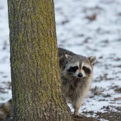 raccoon, raccoons, town and country, town and country pest solutions, pest, pests, rochester, syracuse, buffalo, rochester ny, syracuse ny, buffalo ny, new york, western ny, rochester exterminators, syracuse exterminators, buffalo exterminators, bed bugs, fabry, matt fabry, extermination, hire the pros, friendly, trustworthy
