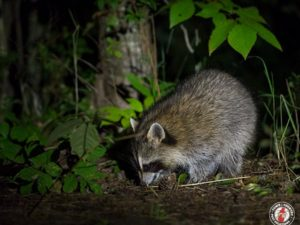 Cartoon Raccoon Causes Biological Invasion of Real Raccoons in Japan