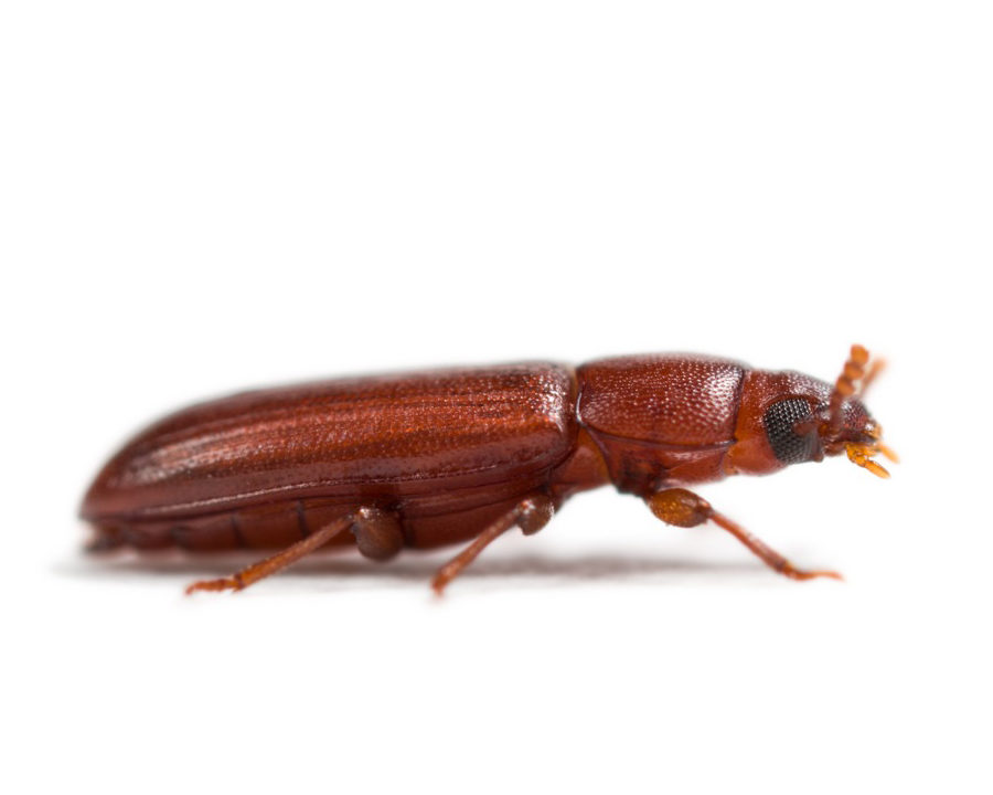 Red Flour Beetles | Town and Country Pest Solutions Inc.