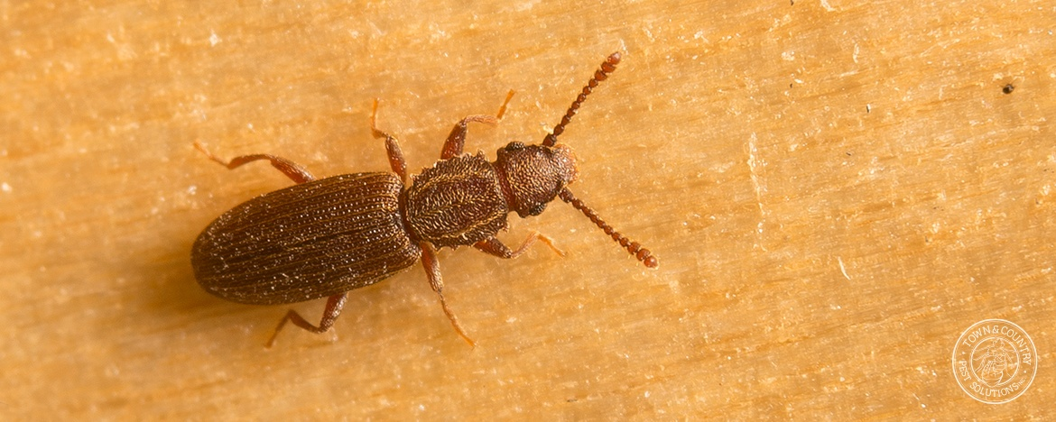 Sawtoothed Grain Beetles | Town and Country Pest Solutions ...