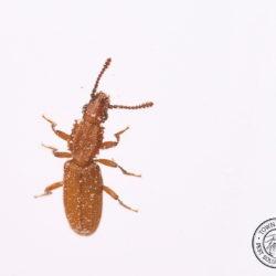 sawtoothed grain beetle, beetles, town and country, town and country pest solutions, pest, pests, rochester, syracuse, buffalo, rochester ny, syracuse ny, buffalo ny, new york, western ny, rochester exterminators, syracuse exterminators, buffalo exterminators, bed bugs, fabry, matt fabry, extermination, hire the pros, friendly, trustworthy