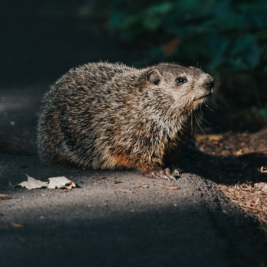 A photo of a groundhog representing our Groundhog Service