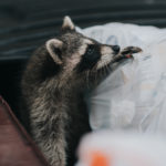A thumbnail of a raccoon for our Raccoon Service Page