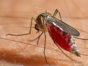 The Disease-Carrying Mosquito Species That Infests New York Homes
