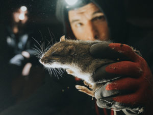 How The Pandemic Is Prompting Rats To Invade Residential Areas